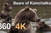 360°, Bears of Kamchatka. Kambalnaya River, 4K aerial video