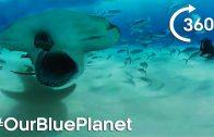 Hammerhead Sharks 360° – #OurBluePlanet – Earth Unplugged