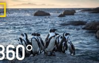 Endangered Penguins of South Africa – 360 | National Geographic