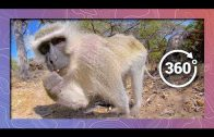 Monkey Business   Wildlife in 360 VR