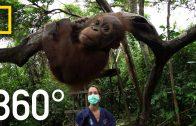 360° Orangutan School | National Geographic