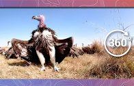 Vultures Feed on Wildebeest | Wildlife in 360 VR