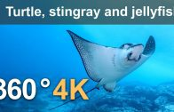 360°, Diving with turtle, stingray and jellyfish. 4K underwater video