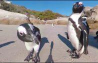 360 VR Penguins in South Africa