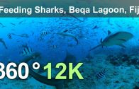 Feeding Sharks. Beqa Lagoon, Fiji. Underwater 360 video in 12K