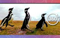 March of the Magellanic Penguins | Wildlife in 360 VR
