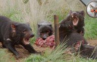 Tasmanian Devil Feeding Frenzy! – in VR180!