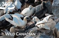 Thousands of Gannets Return to This Rock Ledge in Newfoundland (360 Video) | Wild Canadian Year